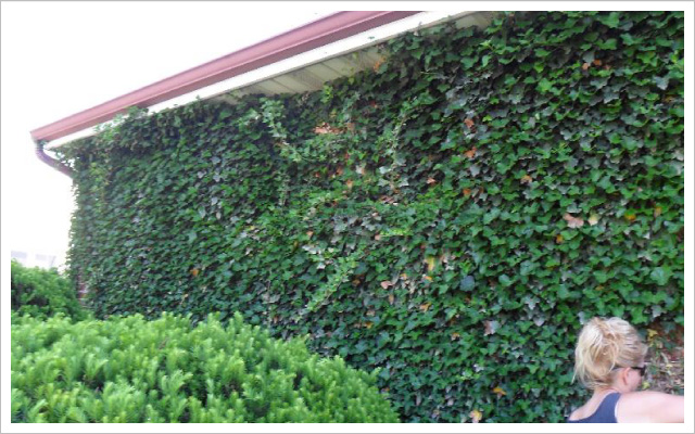 Ivy grown over house wall